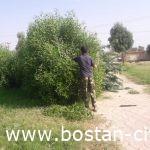 گزارش تصویری از عملیات هرس درختان و چمن زنی فضای سبز شهر بستان